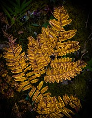 Colorful Fern (mswan777) Tags: fern plant foliage yellow forest wood hike trail outdoor detail texture stevensville michigan apple iphone iphoneography mobile macro leaf