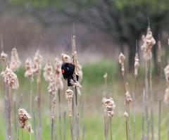 Red-Winged Blackbird (Matts915) Tags: belmont birds rockmeadow wildlife agelaiuspoheniceus animals birdwatching birding nature natureshots outdoors redwingedblackbird