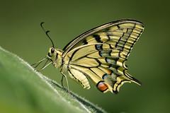 Papilio machaon ssp. gorganus (Old World Swallowtail) - Papillionidae - BEP Market Garden, Shipka, Kazanlak, Bulgaria-4 (Nature21290) Tags: bep bulgaria bulgaria2018 june2018 kazanlakvalley lepidoptera marketgarden oldworldswallowtail papilio papiliomachaon papiliomachaonsspgorganus papilionidae shipka insect
