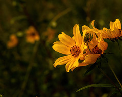 Coreopsis 09.04.2019.01 (nwalthall) Tags: coreopsis landscape
