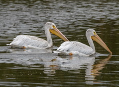 American White Pelican (Pelecanus erythrorhynchos) (mesquakie8) Tags: bird pelican swimming juvenile americanwhitepelican pelecanuserythrorhynchos awpe horiconmarshnwr dodgecounty wisconsin 2422