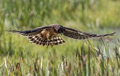 Northern Harrier (Circus cyaneus) (mesquakie8) Tags: bird hawk flyingandhunting hatchingyearmale northernharrier circuscyaneus noha horiconmarshnwr dodgecounty wisconsin 2238