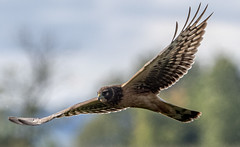 Northern Harrier (Circus cyaneus) (mesquakie8) Tags: bird hawk flyingandhunting hatchingyearmale northernharrier circuscyaneus noha horiconmarshnwr dodgecounty wisconsin 2285