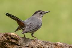 Gray Catbird (Lynn Tweedie) Tags: wood bokeh beak tail wing canon ngc animal 7dmarkii feathers orange tree sigma150600mmf563dgoshsm missouri graycatbird green eos bird eye branch