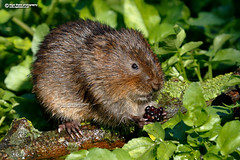 Northern Water Vole, Arvicola amphibius (Nigel Blake, 18.5 MILLION views! Many thanks!) Tags: watervole arvicolaamphibius water northern european vole smallmammal mammal rodent waterrat canon nigelblakephotography nigelblake wildlifephotography naturephotography