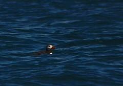 Atlantic puffin (Fratercula arctica) (Tab Tannery) Tags: îleauxperroquets atlanticpuffin fraterculaarctica