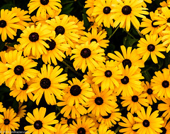 Rudbeckia (Jim Frazier) Tags: 2019 20190814cantigny 2019cantigny asteraceae rudbeckia rudbeckiahirta abstract august background beautiful beauty blackeyedsusan bloom blooming blossoming blossoms botanic botanicgardens botanical botanicalgardens cantigny cantignypark carpet class colorfield curtain desktop dupage dupagecounty fieldtrip flora floral flowering flowers forbs formalgardens gardening gardens horticulture il illinois jimfraziercom loadcode201909 museums nature parks perrenial photowalk plants powerpoint preserves publicgardens q3 sizeover1000 summer wall wallpaper wheaton yellow f10 fastpictures jfpblog