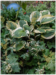 Variegated with Bowling Ball (prima seadiva) Tags: august mygarden variegated hosts filipendula perennial