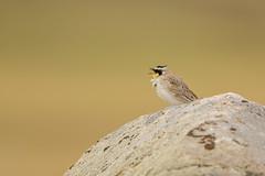 Sing sing sing sing a song (ChicagoBob46) Tags: hornedlark lark bird yellowstonenationalpark yellowstone nature wildlife ngc coth5 naturethroughthelens npc