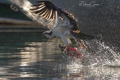 Kokanee Surfing (NikonDigifan) Tags: osprey raptor bird birdwatching birdofprey fish kokanee salmon trout nature naturephotography naturesfinest wildlife wildlifephotography idaho pacificnorthwest nikond850 nikon nikon20050056 mikegassphotography