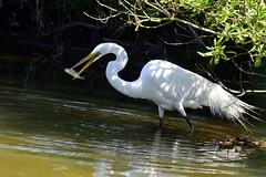 _DSC5392.Z  Great Egret (laurie.mccarty) Tags: greategret egret bird chincoteagueisland nikon80400mm nikond810 nature naturephotography