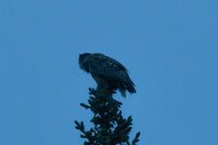 Great Horned Owl (benjamin.minneapolis) Tags: denalinationalparkandpreserv alaska unitedstatesofamerica owl greathornedowl night dusk camping nature