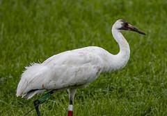 Whooping Crane (Grus americana) (mesquakie8) Tags: bird crane feedinginafield sywhoopingcrane grusamericana whcr horiconmarshnwr dodgecounty wisconsin 2453
