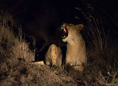 A Hungry Lion (swmartz) Tags: nikon nature outdoors wildlife lions madikwe game pride southafrica june 2019 200500mm night nightphotography africa female yawn roar hungry