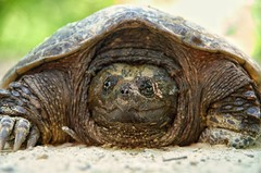 Snapping turtle extreme close up! (michaelstafford5) Tags: snappingturtle turtle animalphotography wildlifephotography pennsylvaniawilds pawilds naturephotography pentaxian pentax pentas18135 pennsylvania