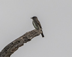 Olive-sided Flycatcher (Contopus cooperi) (mesquakie8) Tags: bird flycatcher sittingonadeadtreebranch hybird olivesidedflycatcher contopuscooperi osfl horiconmarshnwr dodgecounty wisconsin 2296