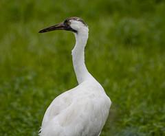 Whooping Crane (Grus americana) (mesquakie8) Tags: bird crane feedinginafield whoopingcrane grusamericana whcr horiconmarshnwr dodgecounty wisconsin 2459