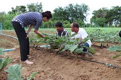 Cambodia-dawson-01 (1223) (Horticulture Innovation Lab) Tags: photobybrendadawson cambodia legrand borarin royaluniversityofagriculture ucdavis karen eggplant