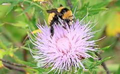 northern amber bumble bee (Bombus borealis) at Chipera Prairie IA 653A0113 (naturalist@winneshiekwild.com) Tags: northern amber bumble bee bombus borealis boreal chipera prairie winneshiek county iowa larry reis
