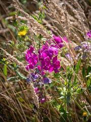 Tennessee Valley-1750138.jpg (Ginny Winblad) Tags: sweetpea tennesseevalley wildflowers