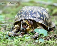Eastern Box Turtle (Mary Sonis) Tags: box reptile carolina slug turtle eastern wildlife forest