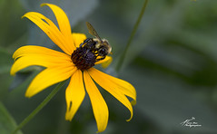 SHF_1448_Bee and Black-Eyed Susan (Tuan Râu) Tags: 1dmarkiii 14mm 100mm 135mm 1d 1dx 2470mm 2019 50mm 70200mm canon canon1d canoneos1dmarkiii canoneos1dx canada color beautiful beauty bee botanical yellow green blue blossom blooming bloom insect animal nature ottawa beautifulinnature plant wing closeup macro tuanrau tuan râu tuấnrâu2019 httpswwwfacebookcomrautuan71