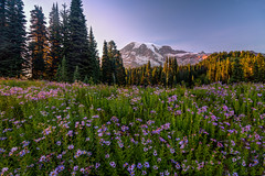 Mt Rainier Purple Twilight (Cole Chase Photography) Tags: sunset summer wildflowers mtrainier paradise washington
