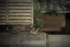 sleeping on the block wall (Sat Sue) Tags: olympus micro four thirds 43 penf japan fukuoka alley cat stray