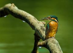After rain, Kingfisher (hardy-gjK) Tags: