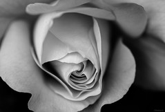 rose (Christine_S.) Tags: canoneosm5 blackwhite monochrome japanesegarden closeup rosebush macro macrophotography ef100mmf28l nature outdoor westerlandrose climbingrose abstract
