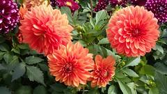 Dahlia's, Howdens Garden Centre, Inverness, Aug 2019 (allanmaciver) Tags: dahlia colour detail bloom howdens garden centre inverness allanmaciver