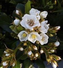Tiny Spring Bouquet (Padmacara) Tags: australia fremantle flower plant shadowlight g11 macro closeup springtime
