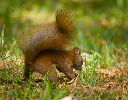 Burying a nut