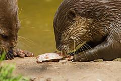 not sharing - Otters and Butterflies - Buckfastleigh, Devon - June 2019 (Dis da fi we) Tags: otters butterflies buckfastleigh devon sharing