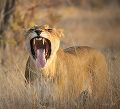 It's Been A Long Day (cheryl strahl) Tags: africa southafrica timbavatinaturereserve naturereserve nature lioness lion yawn teeth mouth evening light moment