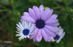 05_Daisies (Anavicor) Tags: daisies margarita quintaflower juevesdeflores thursdayflower jueves jeudi giovedi donnerstag blume fleur flor flower fiore anavillar anavicor villarcorreroana