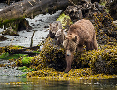 Grizzly Bear (Turk Images) Tags: britishcolumbia glendalecove grizzlybear telegraphcove tideripgrizzlytours ursusarctoshorribilis vancouverisland mammals ursidae spring