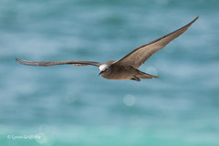 Brown Noddy Tern 501_8773.jpg (Mobile Lynn) Tags: birds tubenosesgulls tern brownnoddytern seabirds nature anousstolidus bird charadriiformes coast coastal commonnoddy fauna sea seabird shorebird shorebirds wildlife marshterns seaswallow seychelles coth specanimal ngc coth5 npc