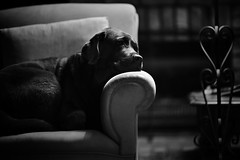 Asleep in the light (Buck777) Tags: blackandwhite 85mm z7 nikon nightlight lamp couch sleep asleep dog lab labrador