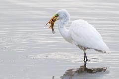 Finally A Decent Size Fish (Glenn.B) Tags: nature wildlife somerset rspb hamwall bird water egret avian greatwhiteegret