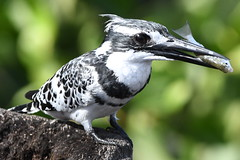 Pied Kingfisher. (Albie n Glo) Tags: bird kingfisher piedkingfisher gambia nature wildlife