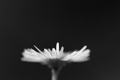 Le jour et la nuit (CécileAF) Tags: canon macro monochrome minimalist flowers petals dreamy poetic romantic