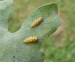 Psyllobora 22-punctata larvae (rockwolf) Tags: psyllobora22punctata ladybird 22spot beetle psylloboravigintiduopunctata coccinellidae coccinelle coccinelleà22points thirongardais parcduperche france 2019 rockwolf
