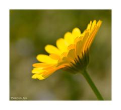 Yellow wildflower (Graham Pym On/Off) Tags: yellow flora flower nikon macro meadow d7100 devon petals pollen sigma105mm coth alittlebeauty coth5