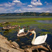 Gaggle of swans on the Danube river