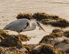 Heron Fishing (Steve (Hooky) Waddingham) Tags: animal amble countryside coast canon bird british nature northumberland flight fish wild wildlife heron photography planet