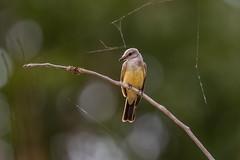 Western Kingbird (wn_j) Tags: birds birding nature naturephotography wildlife wildanimals wildlifephotography canon canon1dxii canon500mm barrlake barrlakestatepark denver colorado kingbird westernkingbird