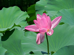 Pink lotus flower of Yuyuan Chinese garden, Shanghai,  China (German Vogel) Tags: chinesegarden pond yuyuangarden nature pink detail closeup plant lotusflower lotus asia travel tourism traveldestinations touristattractions famousplace eastasia china shanghai flower bloom blossom