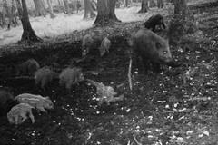 Wildschweine (naturgucker.de) Tags: ngidn1026145304 susscrofa wildschwein