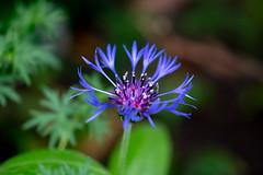 Mystic Blue (Kei Edamatsu) Tags: flower flowers nature garden blue centaurea wildflower iful